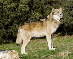Image of a wolf at the California Wolf Center