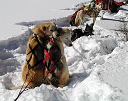 Image of sled dogs