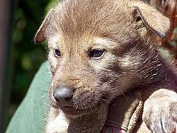 Image of a Red Wolf pup