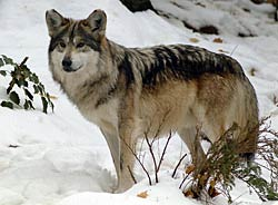 Image of a wolf during the winter
